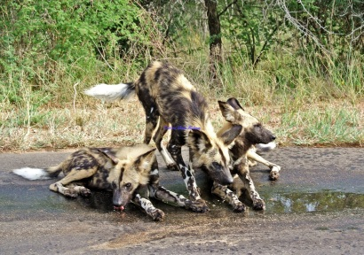 Wild Dogs Puddle Playing